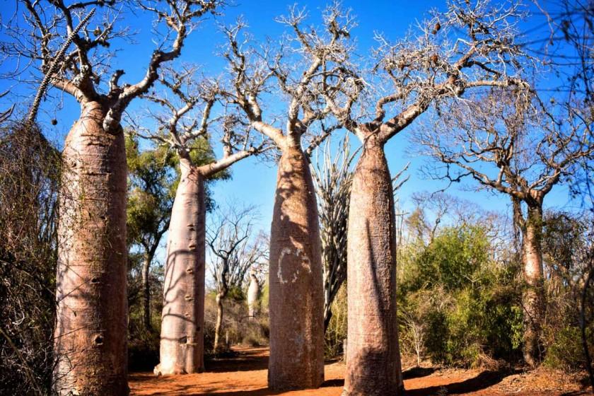 Madagaskar Reisetipps, Baobabs, Madagaskar von Rod Waddington