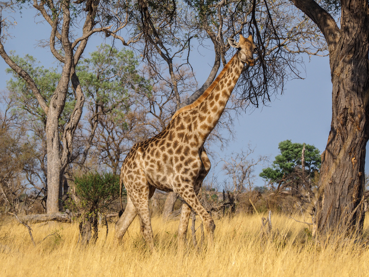 Giraffen in Savuti