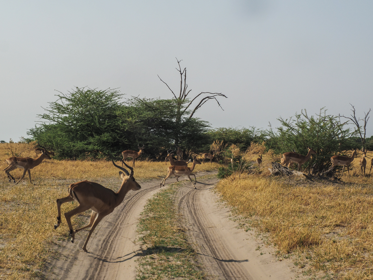 Impalas crossing