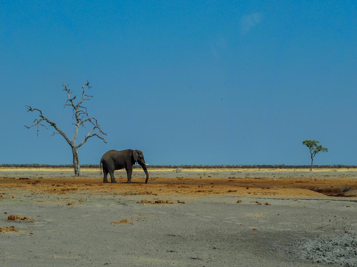 Elefant vor dem Mababe Gate