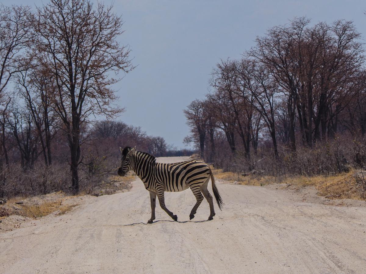 Zebras im Moremi NP