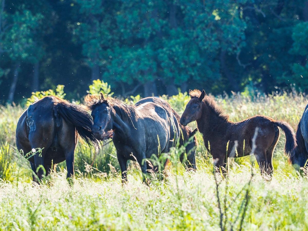 Donaudelta, Wildpferde bei Letea
