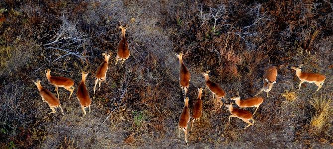 Ballonsafari im Pilanesberg Nationalpark, Südafrika. Die meisten Tiere vermuten aus der Luft keine Gefahr, deshalb laufen sie nicht weg, wenn man sich ihnen in einem Ballon nähert.
