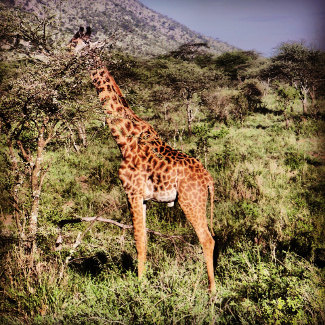Giraffe in der Serengeti