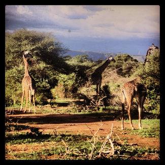 Drei Giraffen beim Essen