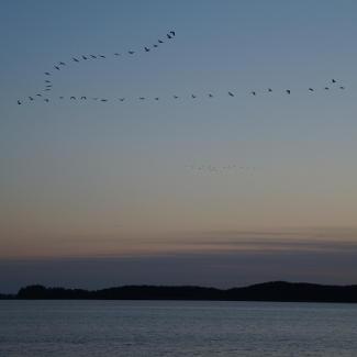 Kranicheinflug über den Rederangsee