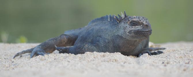 Meeresechse Galapagos