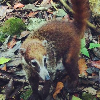 Tikal, Nasenbären tummeln sich an diesem Morgen überall