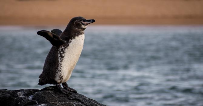 Galapagos-Pinguin