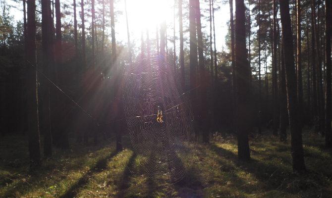 Spinnennetz im Kiefernwald