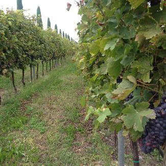 Weinberg auf dem Weingut Preella