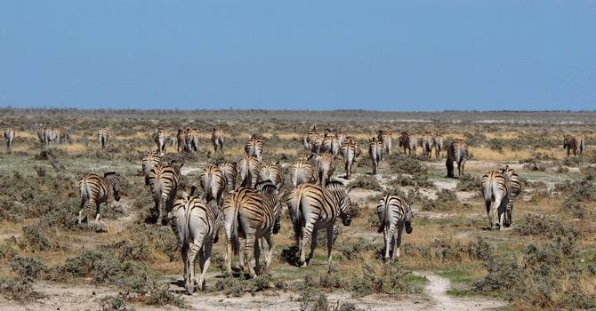 Zebras auf dem Weg in den Westen