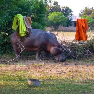 Nilpferd im Queen Elizabeth NP in Uganda