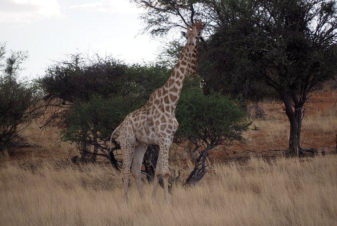 Sieht man hier nicht immer – Giraffen