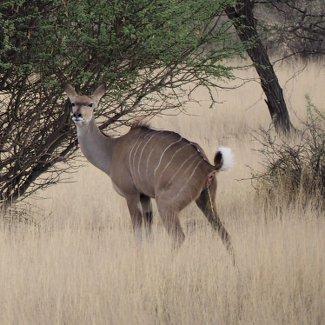 Pinkelndes Kudu