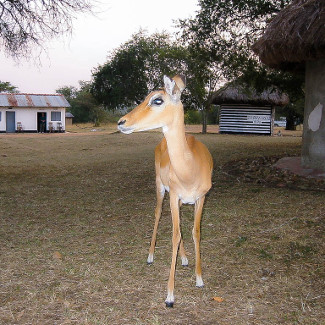 Impala im Mburo NP in Uganda