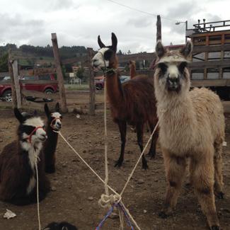 markt_saquisili_ecuador_325_lamas