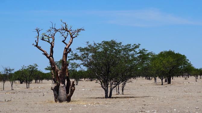 Moringabäume
