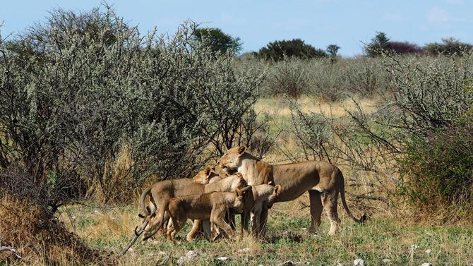 Löwenmutter mit ihren Söhnen in Lebron