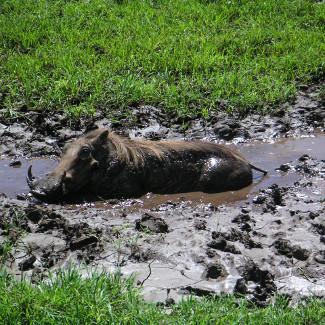 Warzenschwein in der Serengeti