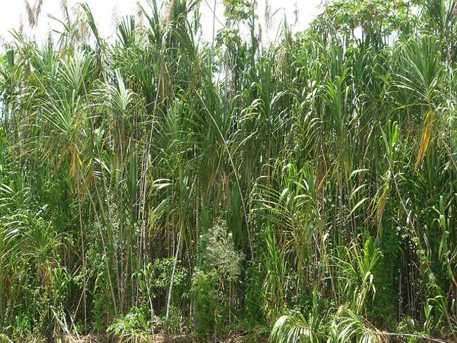 Bambus_bearbeitet